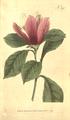 The Botanical Magazine, Plate 390 (Volume 11, 1797).png