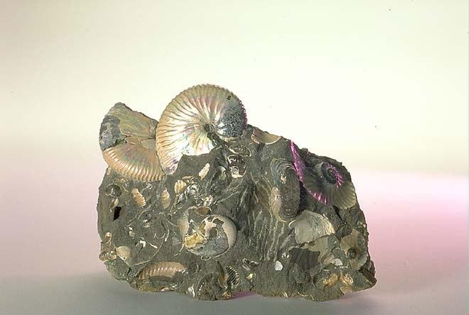 The Childrens Museum of Indianapolis - Ammonites