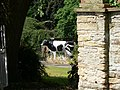 The Cow In The Garden - geograph.org.uk - 210604.jpg