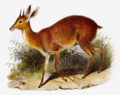 The book of antelopes (1894) Raphiceros melanotis.png