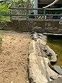 The crocs fight!.jpg