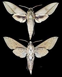 Theretra celata MHNT CUT 2010 0 254 Cooktown Queensland Australia male.jpg