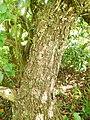 Thespesia populnea (trunk).jpg