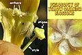 Thevetia peruviana-flower-details.jpg