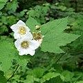 Thimbleberry (16995530956).jpg