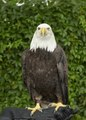 This is Cheyenne, a seven-year-old female bald eagle, who appeared as part of a presentation by HawkQuest, a nonprofit environmental-education organization that employs birds of prey such as hawks, LCCN2015633473.tif