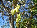 Three sided pod flowering tree - panoramio - Jonah Probell.jpg