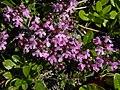 Thymus pulgioides - Arznei-Quendel.jpg