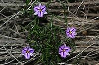 Thysanotus patersonii (1)