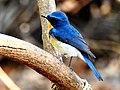 Tickell's Blue Flycatcher Cyornis tickelliae by Dr. Raju Kasambe best DSCN0543.jpg