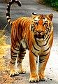 Tiger (86312199).jpeg