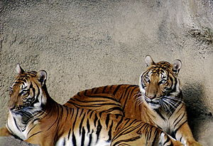 Indochinese tiger - Two Indochinese tigers at Cincinnati Zoo