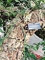 Tillandsia caput-medusae - Denver Botanic Gardens - DSC00922.JPG