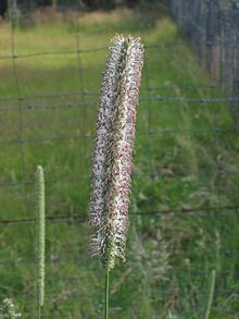 Timothee (Phleum pratense subsp. pratense).jpg