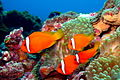 Tomato clownfish.jpg