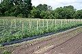Tomatoes (5830771790).jpg