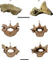 Tonnicinctus - cranials and vertebras.tif