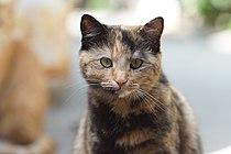 categorytortoiseshell cats wikimedia commons
