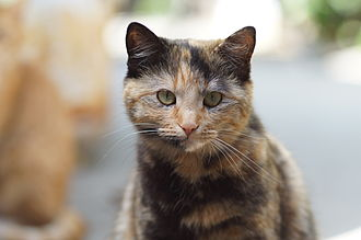 Tortoiseshell cat - A domestic shorthair tortoiseshell cat. Individual white hairs and light-colored hair patches are visible, but they are small compared with the orange and black patches.