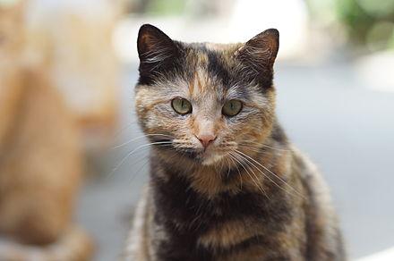 Lilac Tortoiseshell Cats
