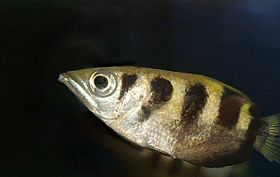 Side view of a silvery-gold fish with four brown stripes occupying most of the centre foreground, with a dark background. The fish is arrowhead-shaped, with a pointed snout and large eye