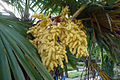 Trachycarpus fortunei flower.jpg