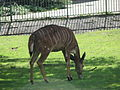 Tragelaphus angasii in the Silesian Zoological Garden 03.JPG