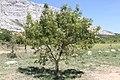 Tree Aix-en-Provence 20110813.jpg