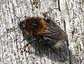Tree Bee, Bombus hypnorum - Flickr - gailhampshire.jpg