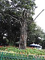 Tree art-2-cubbon park-bangalore-India.jpg