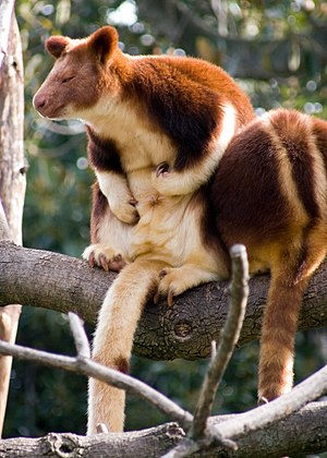 Tree-kangaroo - Image: Tree kangaroo 2