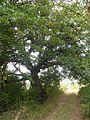 Tree of the partisans,Vishovgrad,Bulgaria.jpg
