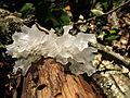 Tremella fuciformis Berk 249656 2012-08-11.jpg