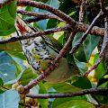 Treron calvus glaucus in Ficus lutea, Pietersburg, e.jpg