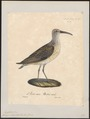 Tringa subarquata - 1825-1834 - Print - Iconographia Zoologica - Special Collections University of Amsterdam - UBA01 IZ17400265.tif