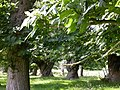 Triple Avenue of Sweet Chestnut Trees - geograph.org.uk - 26458.jpg