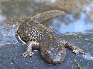 Pyrenean brook salamander - Image: Tritó Pirinenc