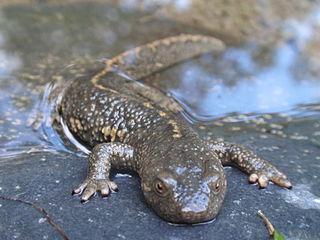 Pyrenean brook salamander Species of amphibian