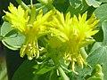 Tropaeolum peregrinum1.jpg