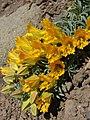 Tropaeolum polyphyllum (3435166083).jpg