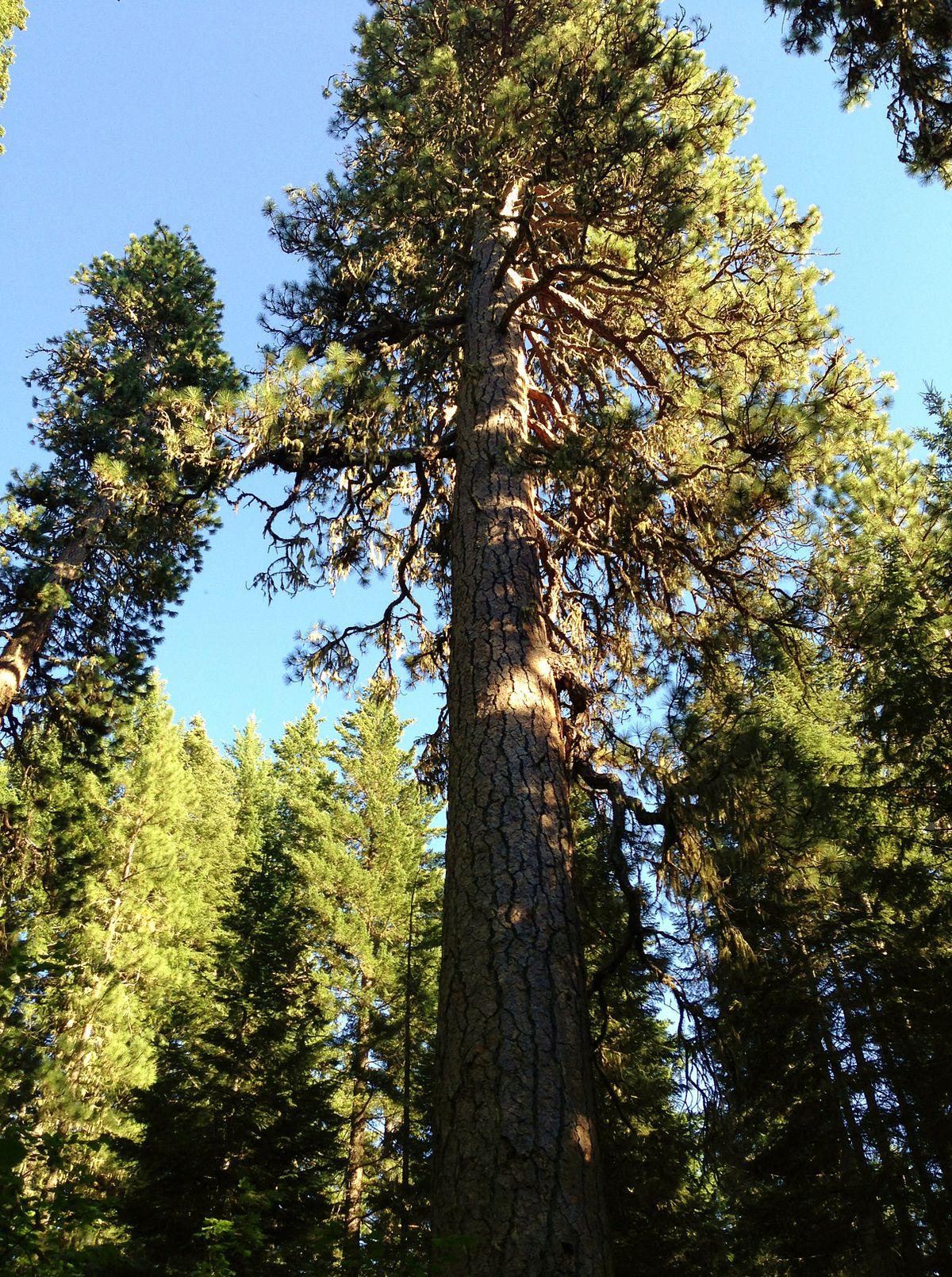 Big Tree Washington Wikipedia