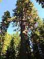 Trout Lake Big Tree 02.JPG