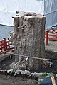 Trunk of Ginkgo 20100330 0188.jpg