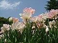 Tulipa Angelique.jpg