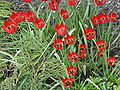 Tulipa orphanidea 01.jpg