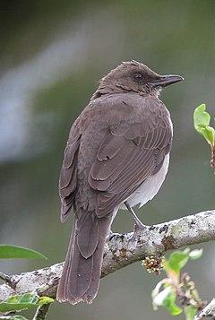 240px turdus ignobilis mirla embarradora black billed thrush (10788604016)