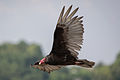 Turkey Vulture 6280.jpg