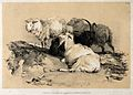 Two sheep and two goats resting together in a field. Lithogr Wellcome V0021724.jpg
