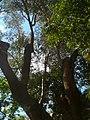 Ullastre del Parc Güell P1500846.jpg