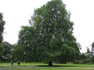 <i>Ulmus</i> × <i>hollandica</i> Wentworthii Pendula Elm cultivar